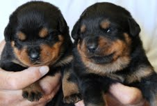 Excellent male and female German Rottweiler puppies available for good homes